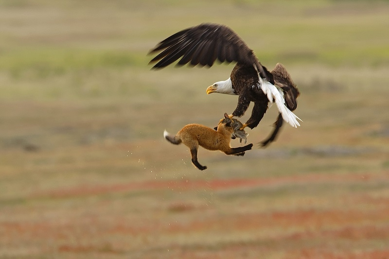 عکاسی از عقاب سرسفید