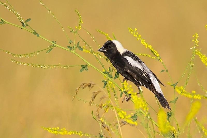 عکاسی از پرنده برنج خورک یکی از آثار برگزیده مسابقه Audubon
